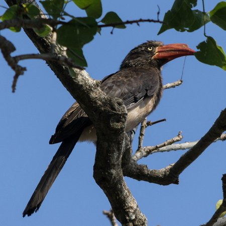 Inkwenkwezi Private Game Reserve Safari Lodge : Hornbill