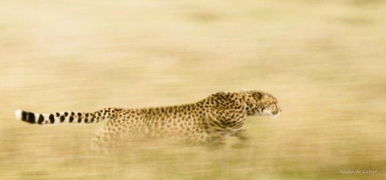 Entim Camp: Cheetah on the run
