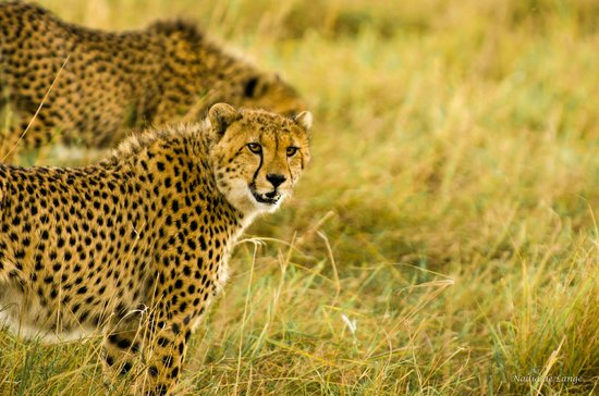 Entim Camp: Golden cheetah