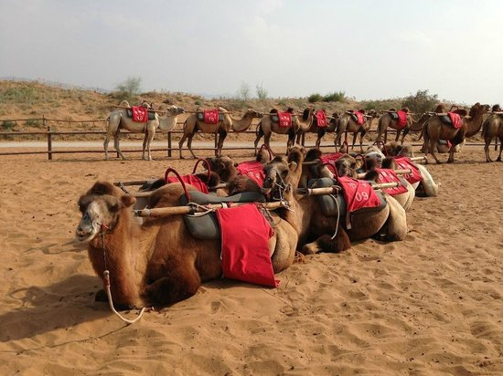 Shapotou Tourist Zone: Camel rides