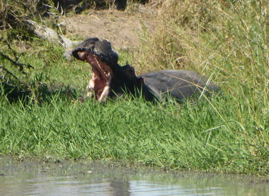 Simbambili Game Lodge: Hello from a hippo