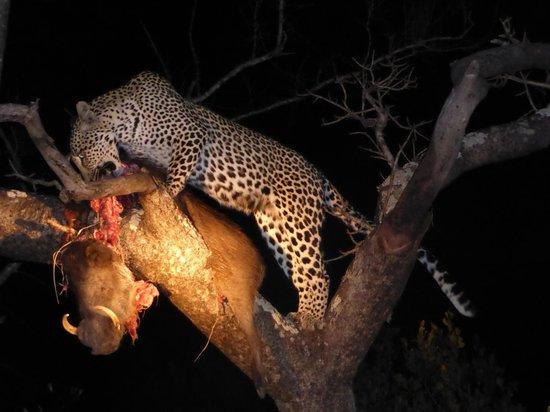 Simbambili Game Lodge: Female leopard tucking in