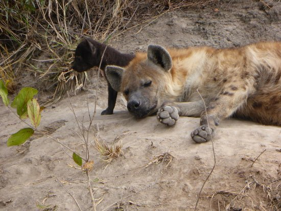 Simbambili Game Lodge: Can a hyena be cute?