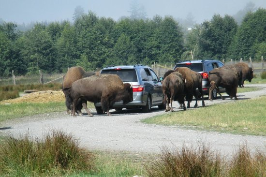 Buffalo Gather Picture Of Olympic Game Farm Sequim Tripadvisor