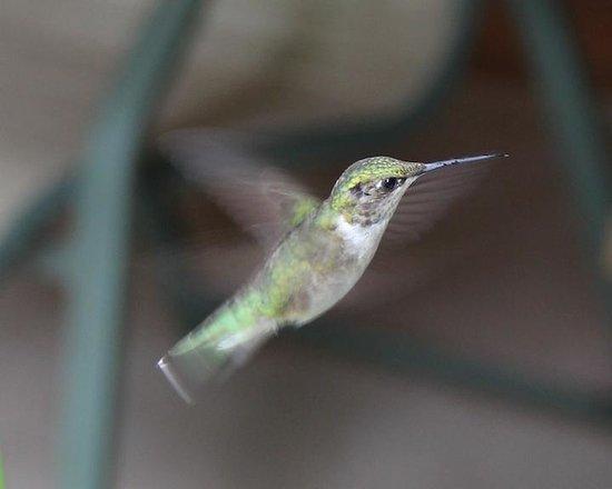 Penokee Mountain Inn: Hummingbird on the front porch