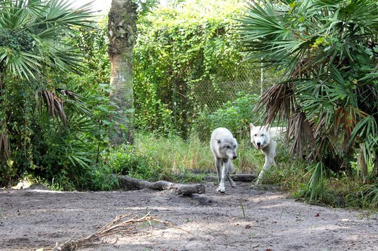 Shy Wolf Sanctuary Education & Experience Center: Wolves coming to take a peek at the humans