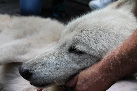 Shy Wolf Sanctuary Education & Experience Center: Relaxing with the humans