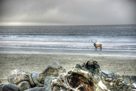 Crescent Beach Motel: The other day, an elk was on the beach right in front of the ocean view rooms!