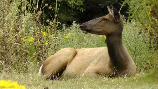 Prairie Creek Redwoods State Park: A cow elk lazing in one of the meadows of the park.
