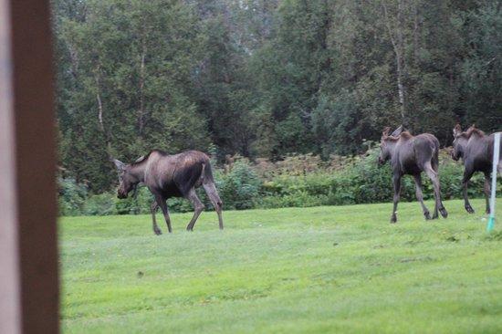 Wild Rose Cottages: Moose depart after inspecting guests
