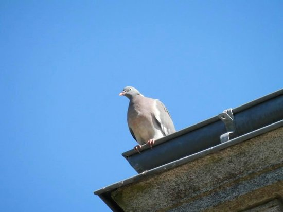 Domaine de la Ferriere : Pigeon on roof