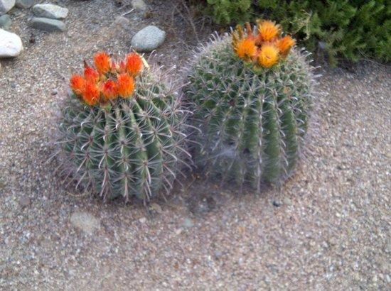 Miraval Arizona Resort & Spa : Stunning flowering cactus