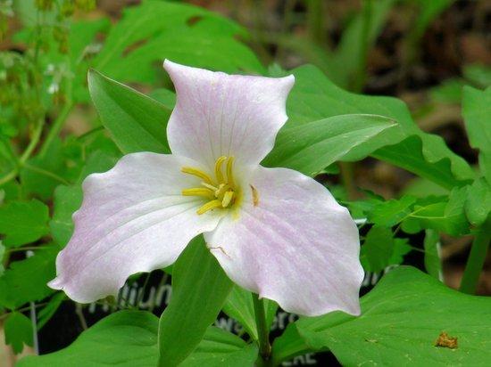 New England Wild Flower Society Garden in the Woods: Trillium