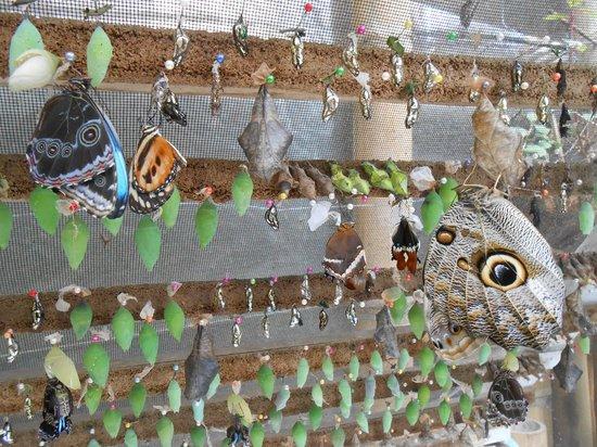 Mariposas de Mindo - Butterfly Garden: Butterfly Nursery
