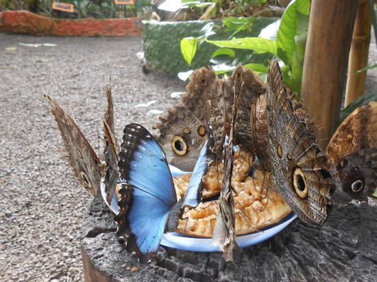 Mariposas de Mindo - Butterfly Garden : Butterflies feeding on bananas