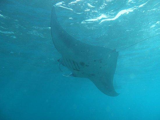 Bali Breizh Divers: Manta