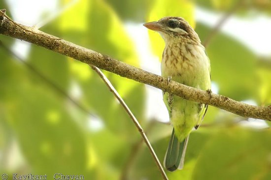 Aashirvad's Pleasant Stays: White-cheeked Barbet