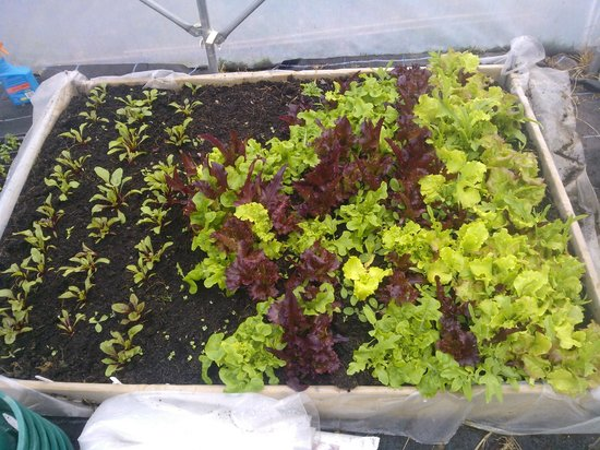 ‪‪Linthorpe B&B‬: salad leaves in polytunnel‬