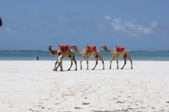 Almanara Luxury Villas: Camels