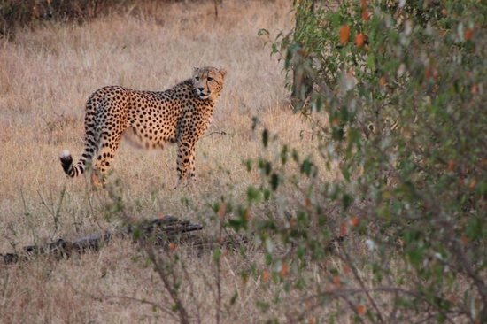 Kicheche Valley Camp: Cheetah
