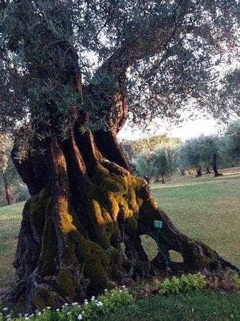 Villa Pina: 2000 Jahre alter Olivenbaum im Olivenhain des Gartens