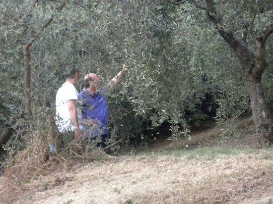 Azienda Agrituristica Il Moraiolo: ulivi