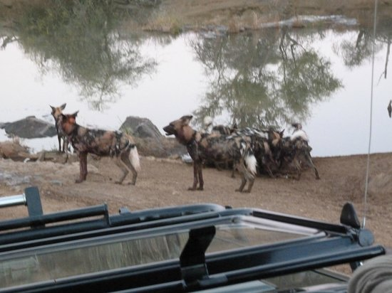 Jaci's Safari Lodge: Wild dog impala kill just before sundown