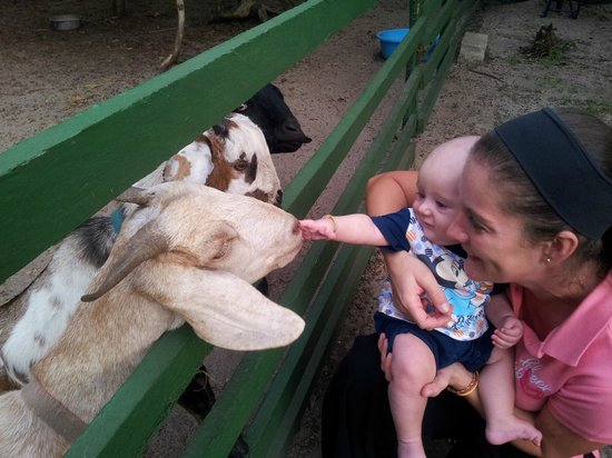 Chai Dee Samui: Goats @ Chaidee