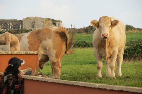 Churchfield B & B: Cattle next door