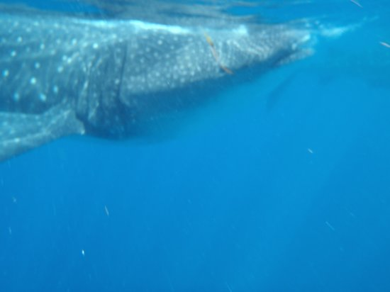 Whaleshark Tours: whale shark!
