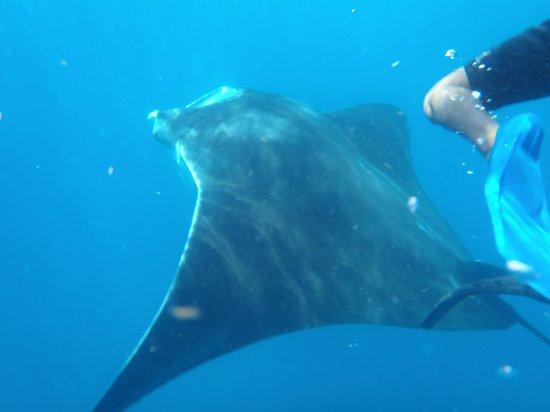 Whaleshark Tours: manta gigante