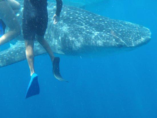 Whaleshark Tours: me and the shark