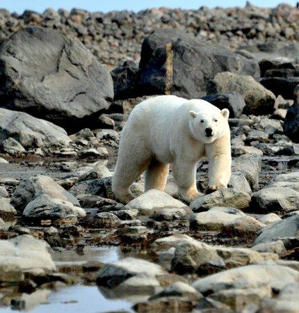 Seal River Heritage Lodge: polar bear