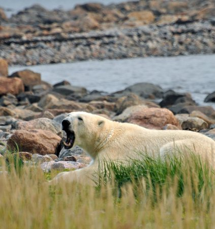 Seal River Heritage Lodge: yawning bear