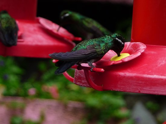 Hotel Trapp Family: A humming bird feeding from one of the many sugar feeders at Selvatura, near the Trapp Family Lo