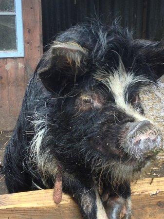 Weare Giffard, UK: Sammy the Pig