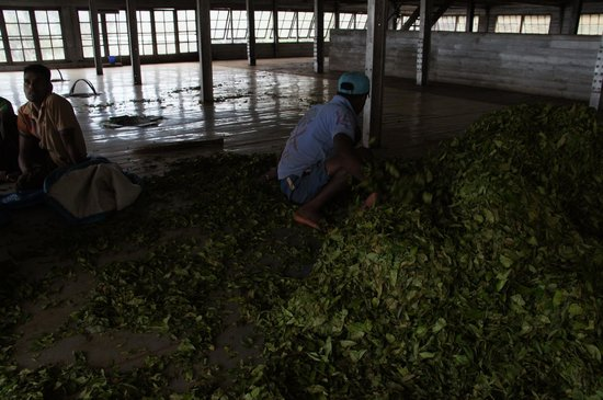 Dambatenne Tea Factory: Feeding the semi dried leaves through a chute to the factory floor underneath