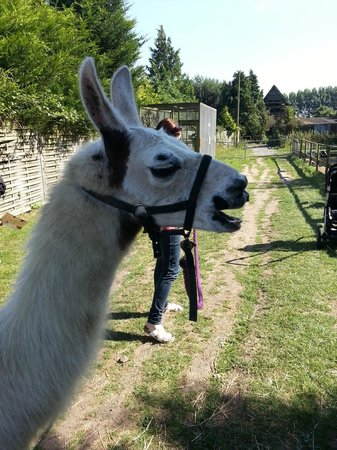 Oasis Camel Park: Fred the Llama!