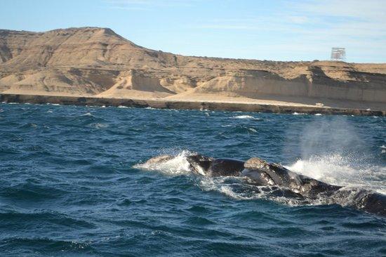 Whales Argentina : Puerto Piramides (avistaje embarcado)