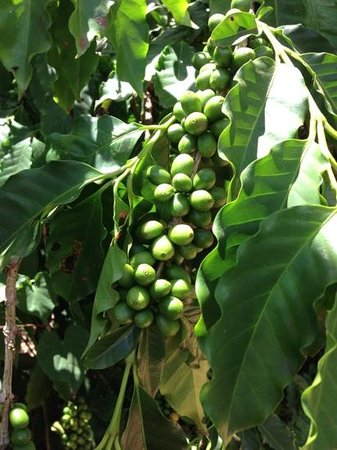 Kauai Coffee Company: coffee beans, ready for harvest in a few weeks