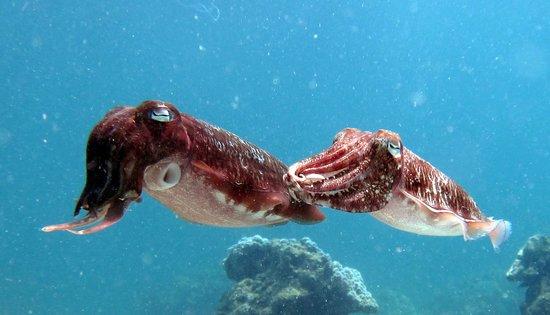 บับบา ไดวิ่ง ภูเก็ต: Cuttle fish we saw.