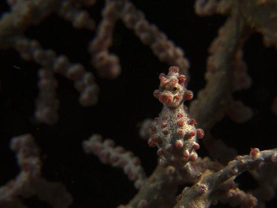 Cocotinos Manado: pygmy seahorse