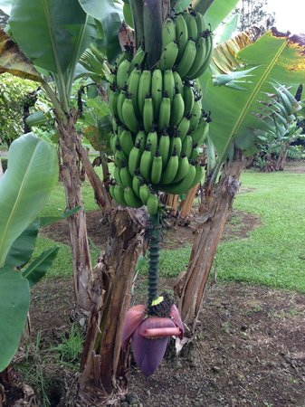 Hilo Coffee Mill: Out in front -- apple bananas :)