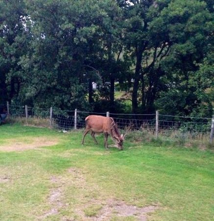 Lochranza Caravan & Camp Site: the stag eating his way round the campers