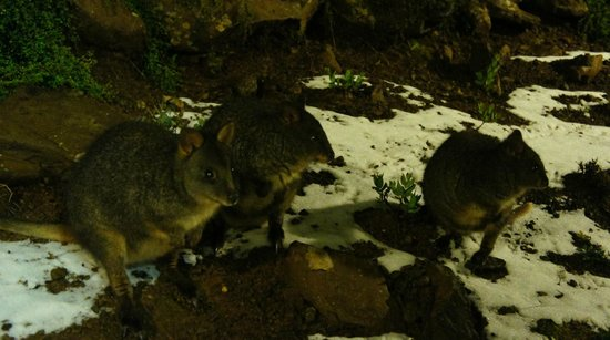 Cradle Mountain Hotel: Morning visitors out of the window