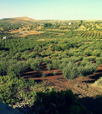 As Suwayda, Сирия: بساتين التفاح في السويداء