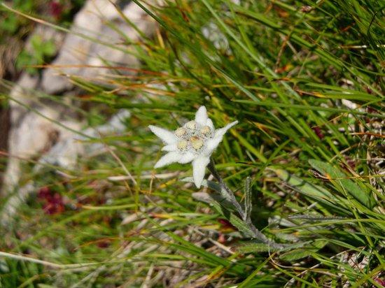 Garni Maria: Edelweiss (solo fotografato)