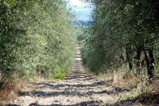 Azienda Agricola Cercignano: Ulivi.Cercignano, Colle di Val D'Elsa (SI)