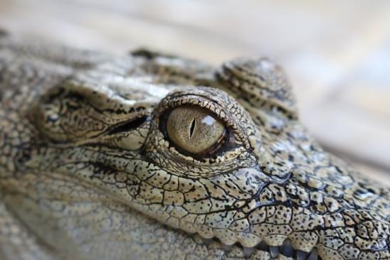 Wildlife Expo: Croc close picture