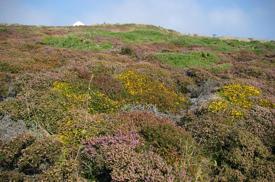 South Stack Cliffs RSPB Reserve: Heathland